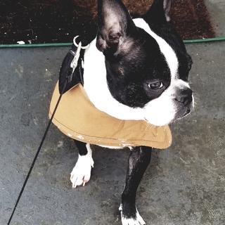 Size medium. 30lb Boston Terrier.