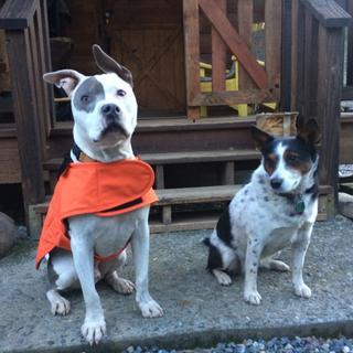 Darwin is somewhat jealous of Mr Banjos new orange Carhartt jacket....