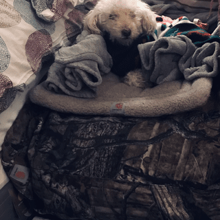 Just home from the hospital, Pepe is enjoying his new Carhartt bedding!