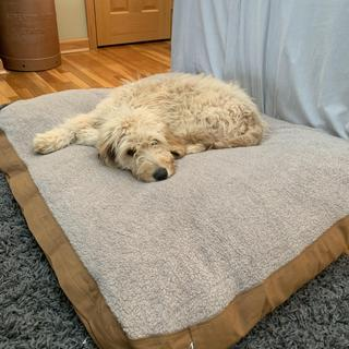 Jack the golden doodle pup loves his bed