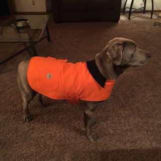 Toby has the large coat. He is about 86lbs, a silver lab, and the large fits just right.