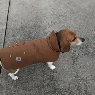 My shelter beagle loves her new Carhartt Chore coat!  Bring on the cold and snow!