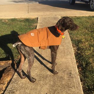 Toby loves his chore coat! Size Large on a 52lb GSP.