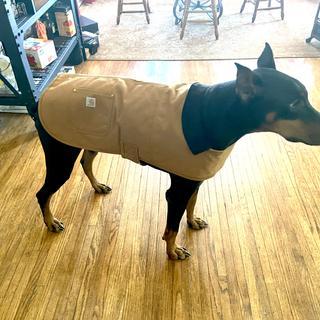 Well dressed Dobie in his XL chore coat.