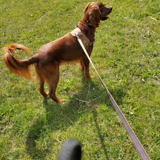 Carhartt dog