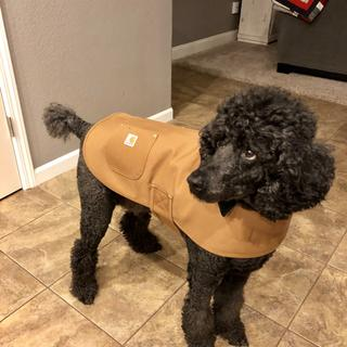 Vinny is a standard poodle & weighs 65 pounds. He's wearing the large and it fit great. Great Coat!