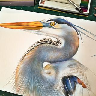 Blue Heron drawing done with Irojiten Colored Pencils