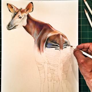 Okapi drawing done with Irojiten Colored Pencils